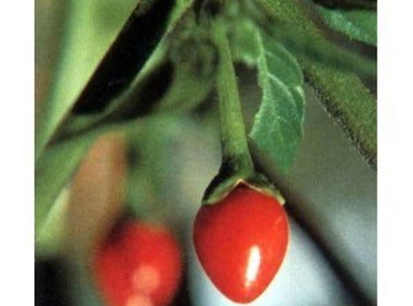 """The chiltepin red hot pepper has been called the """"mother of all peppers,"""". It..."""
