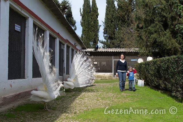 beyaz tavus kuşları arasında dolaşırken