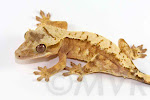Ralphie - Harlequin crested gecko from moonvalleyreptiles.com