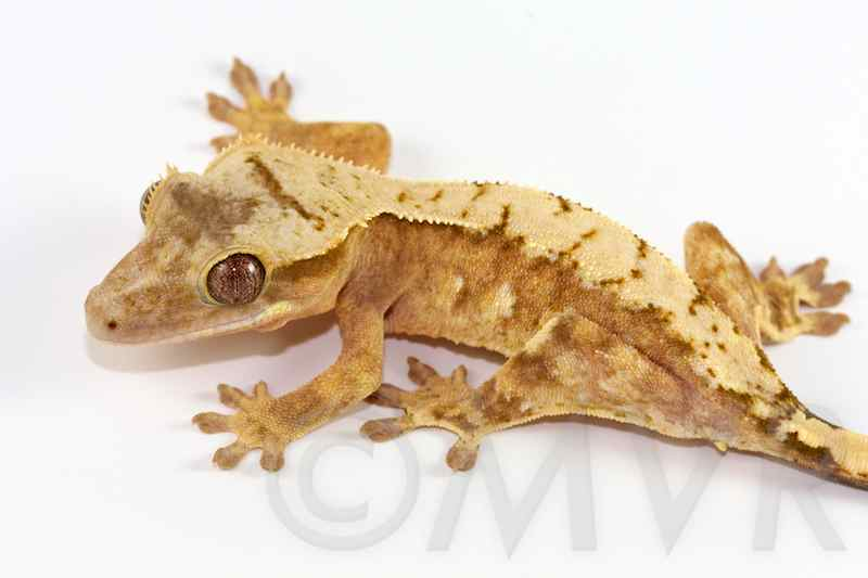 Crested Gecko Coloring Page Creamsicle Creamsicle Crested