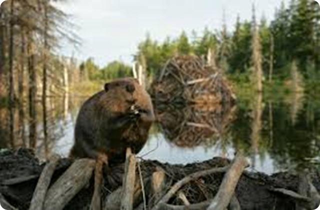 castores en Tierra del Fuego-1