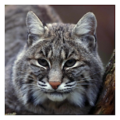 Lynxes and Bobcats Wallpaper