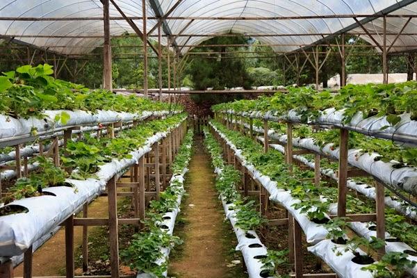 genting farm