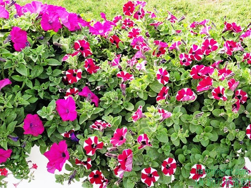 Hạt hoa dạ yến thảo sọc