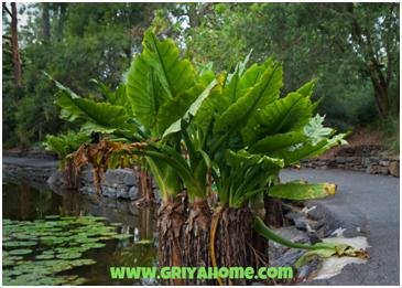 Giant Arum (Typhonodorum lindleyanum)