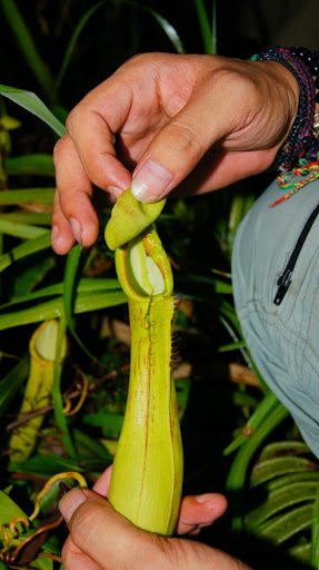 pitcher plant mt hibokhibok 2