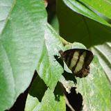 Pareuptychia hesionides deviae BRÉVIGNON, 2005, mâle. Sentier des Gros Arbres (Saül), 15 novembre 2012. Photo : J.-M. Gayman
