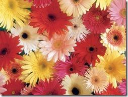 margaritas flores (1)