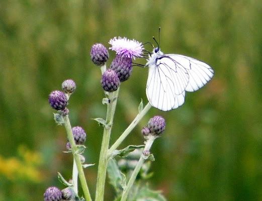 farfallina tutta bianca ........ di pilotto
