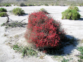 Brilliant Chuparosa Bush near Bow Willow campground