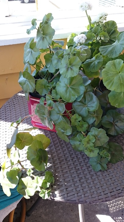 [pelargonium+PAC+viva+carolina%5B4%5D]