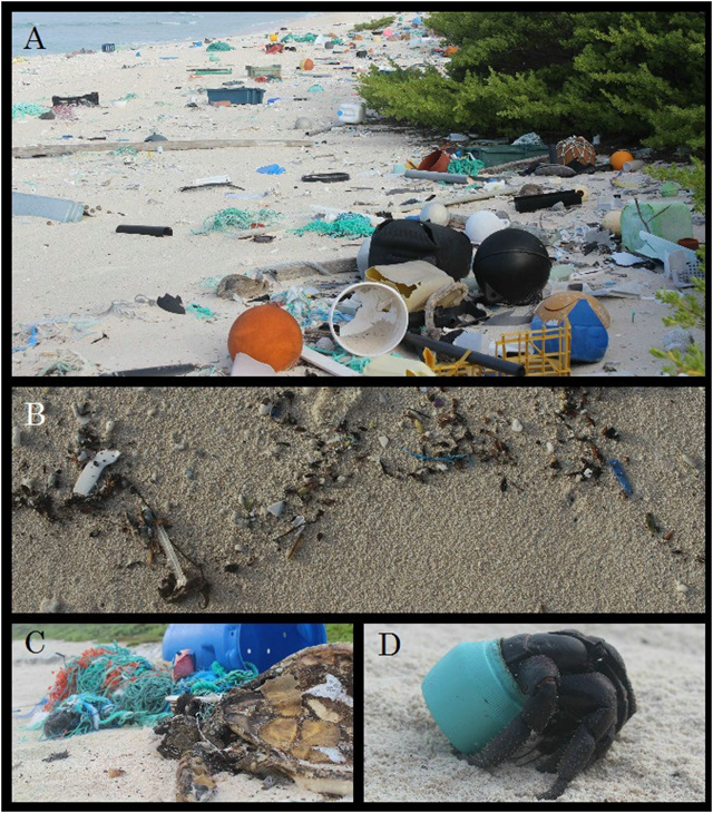 (A) Plastic debris on East Beach of Henderson Island. Much of this debris originated from fishing-related activities or land-based sources in China, Japan, and Chile (Table S5). (B) Plastic items recorded in a daily accumulation transect along the high tide line of North Beach. (C) Adult female green turtle (Chelonia mydas) entangled in fishing line on North Beach. (D) One of many hundreds of purple hermit crabs (Coenobita spinosa) that make their homes in plastic containers washed up on North Beach. Photo: Lavers and Bond, 2017 / PNAS