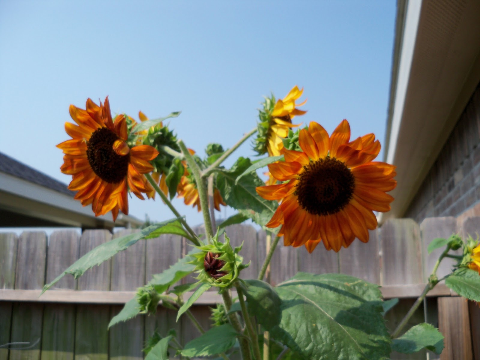 Gardening 2011 - 100_9454.JPG