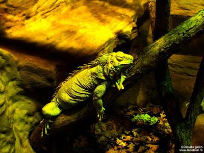iguana somnoroasa