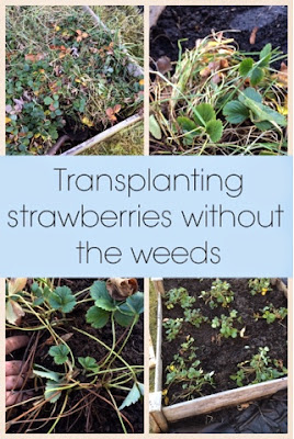 This is how I transplanted all of my strawberry plants into new garden beds, weeding them as I went, and mulching them for the winter with paper.