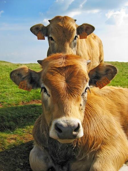 fotogene Kühe
