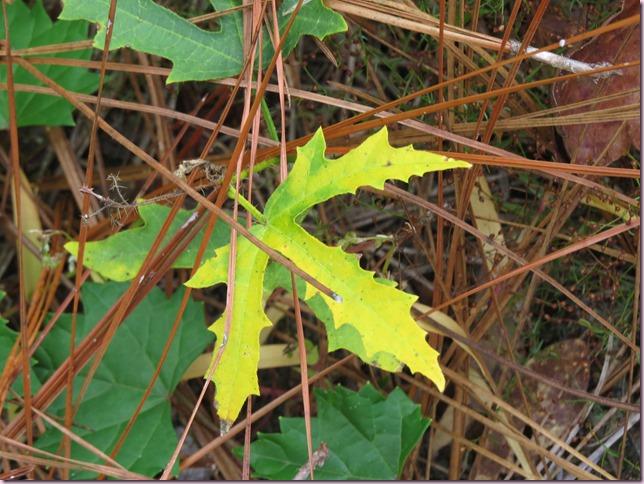 leafIMG_0587