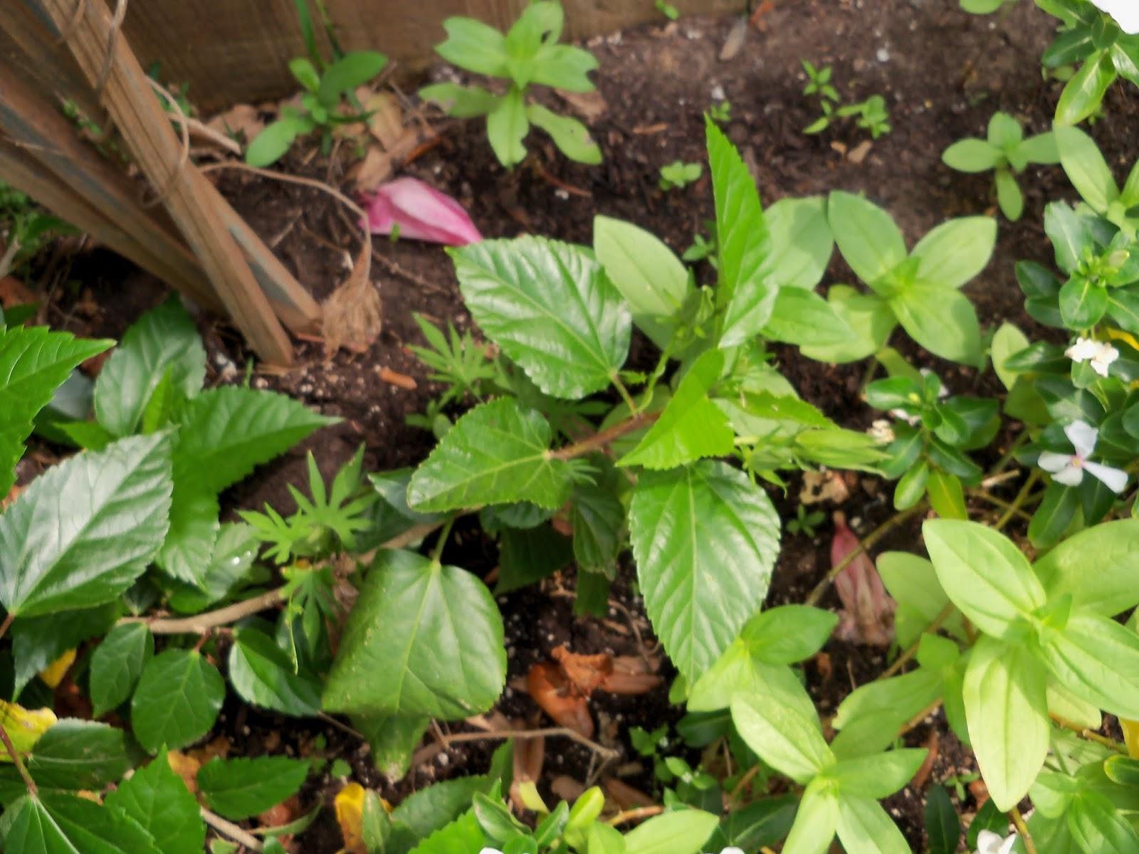 Gardening 2013 - 115_6017.JPG