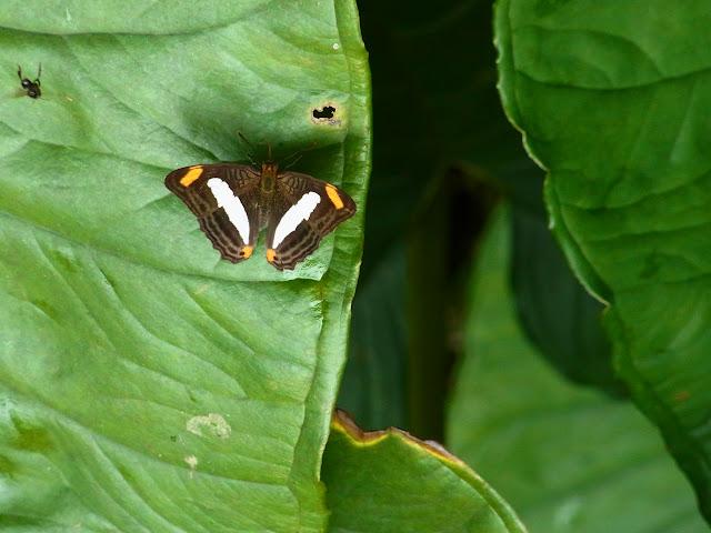Adelpha iphiclus iphiclus (Linnaeus, 1758). Santa María en Boyacá, 1200 m (Boyacá, Colombie), 16 novembre 2015. Photo : J. Michel