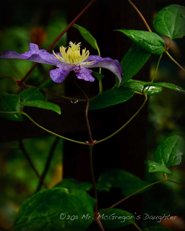 Sad News for US Clematis Lovers