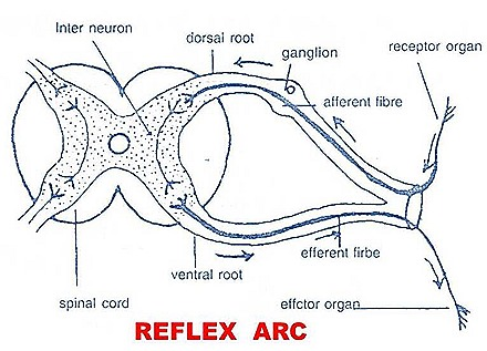 reflex arc diagram
