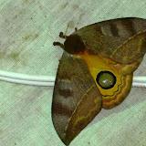 Saturnidae : Hemileucinae : Automeris chacona cochabambae Lemaire, 1971, femelle. Chovacollo, près de Coroico, 1950 m (Yungas, Bolivie), 29 décembre 2014. Photo : Jan-Flindt Christensen