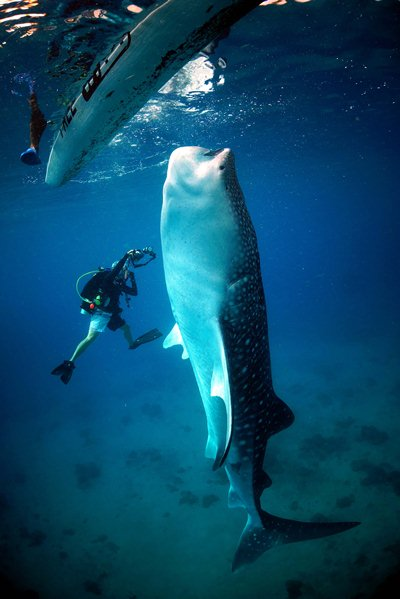 Dancing with a Whale Shark