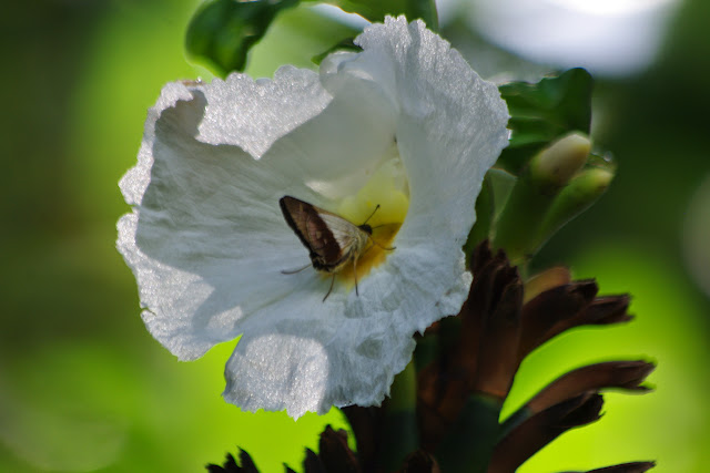 Saliana longirostris (Sepp, [1840]). Rambala (Punta Peña, Bocas del Toro, Panamá), 27 octobre 2014. Photo : J.-M. Gayman