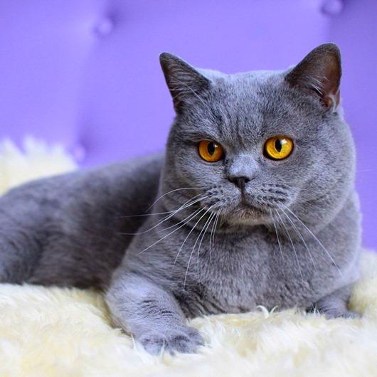 27-Роскошная кошка породы британская короткошерстная