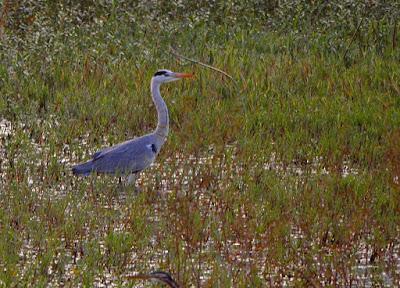 13-Nov-2011 Grey Heron Pic: Sujesh S.