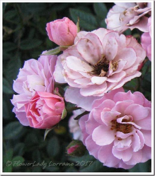 04-03-new-rose7
