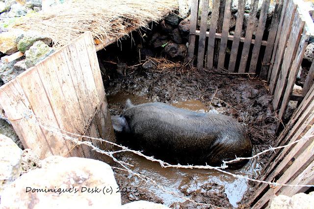 The famous black pig