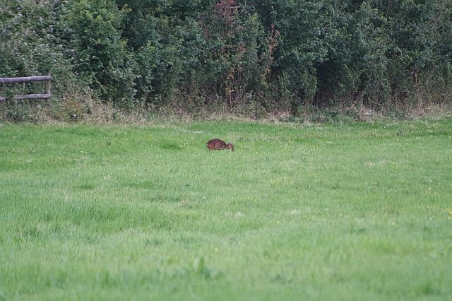 Woodhurst Wildlife Muntjac In The Grassfield - muntjac18.jpg