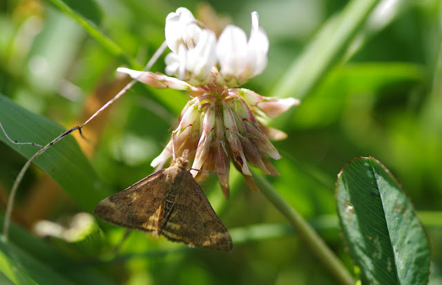 Crambidae : Pyraustinae : Pyrausta despicata (SCOPOLI, 1763). Les Hautes-Lisières (Rouvres, 28), 25 août 2012. Photo : J.-M. Gayman