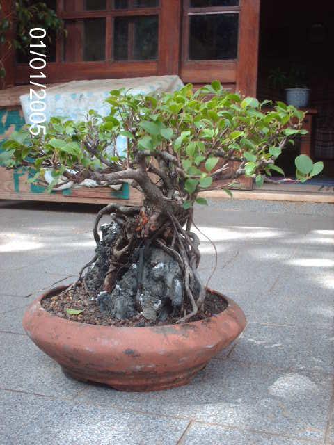 Ficus Microcarpa do Roberto Teixeira... PICT1710