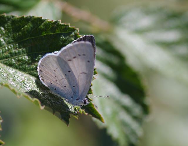 Celastrina argiolus (Linnaeus, 1758). Les Hautes-Courennes, Saint-Martin-de-Castillon (Vaucluse), 15 juin 2015. Photo : J.-M. Gayman