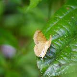Geometridae. Près de Camp Patawa (second layon), Montagne de Kaw (Guyane). 16 novembre 2011. Photo : J.-M. Gayman