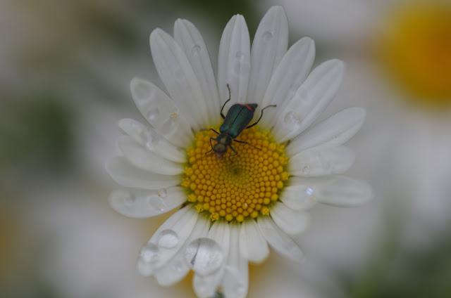Malachiidae : Malachius bipustulatus (L., 1758). Les Hautes-Lisières (Rouvres, 28), 11 juin 2012. Photo : J.-M. Gayman