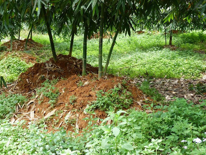 Ces buttes de terre meubles facilitent la croissance des pousses de bambous