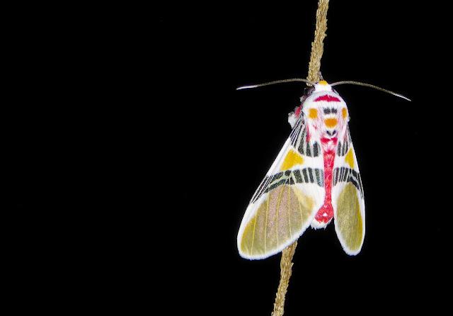Arctiidae : Arctiinae : Idalus dorsalis (Seitz, 1921). Chovacollo, près de Coroico, 1950 m (Yungas, Bolivie), 28 décembre 2014. Photo : Jan-Flindt Christensen