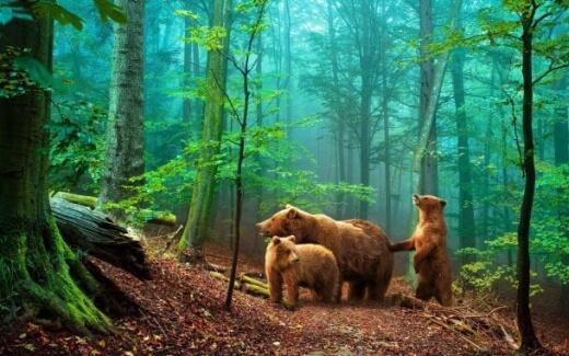 медвежья жизнь и работа