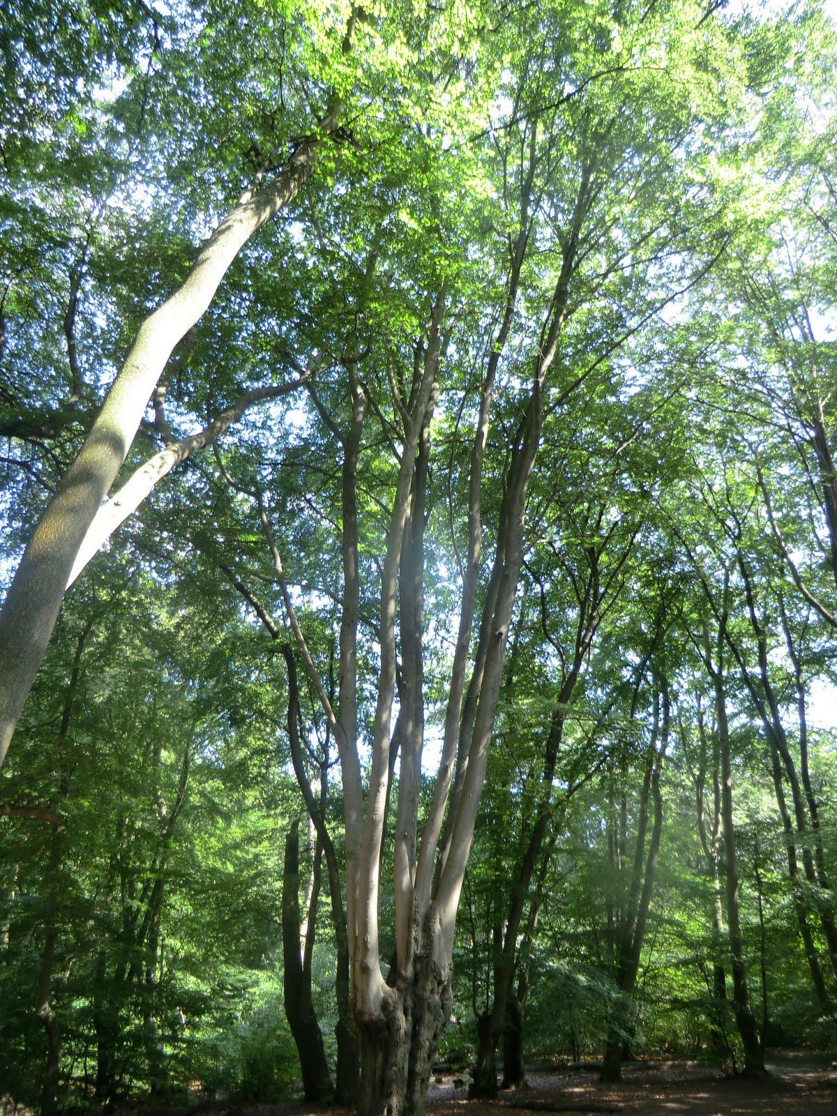 CIMG3214 Pollarded beech, Epping Forest