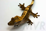 Momo - Sweet harlequin crested gecko from tricolor project at http://moonvalleyreptiles.com