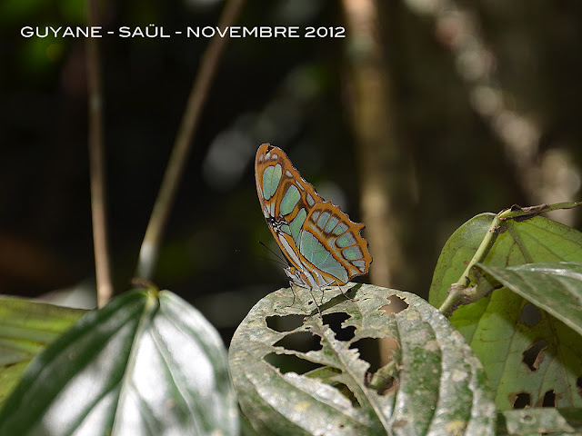 Siproeta stelenes meridionalis (FRUHSTORFER, 1909). Saül, novembre 2012. Photo : M. Belloin