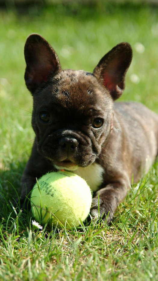 Iphone And Android Wallpapers French Bulldog Puppy Iphone