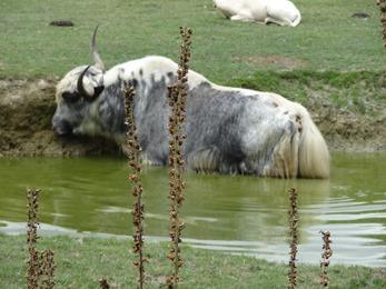 2018.07.19-012 yack blanc