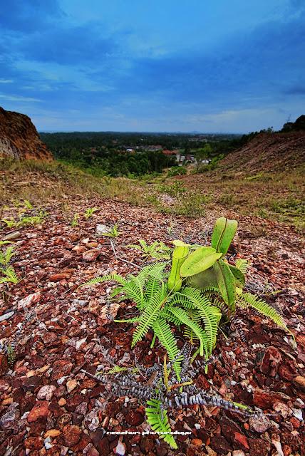 pokok periuk kera atas bukit bucu