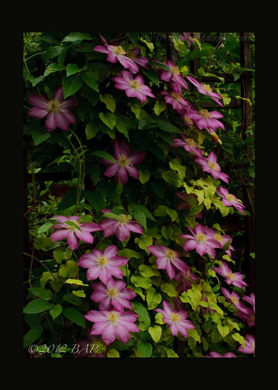 A Clematis Correction/Caveat