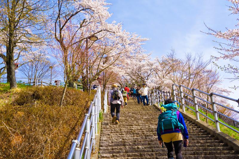 新倉富士浅間神社 桜 写真7