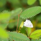 Lycaenidae : Ministrymon una HEWITSON, 1873. Piste de Coralie (Guyane). 26 novembre 2011. Photo : J.-M. Gayman